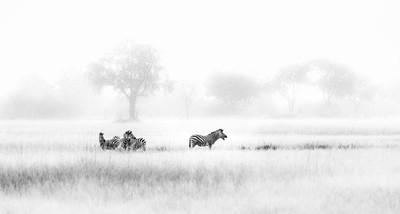 Zebra zeal
