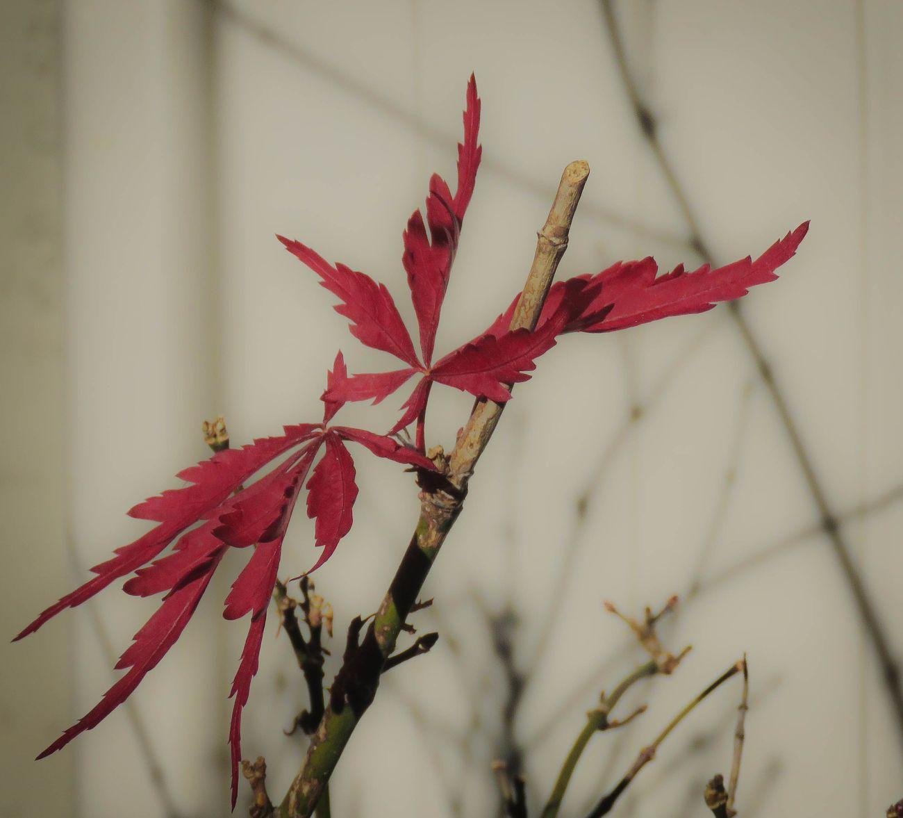 Japanese Maple leaf2