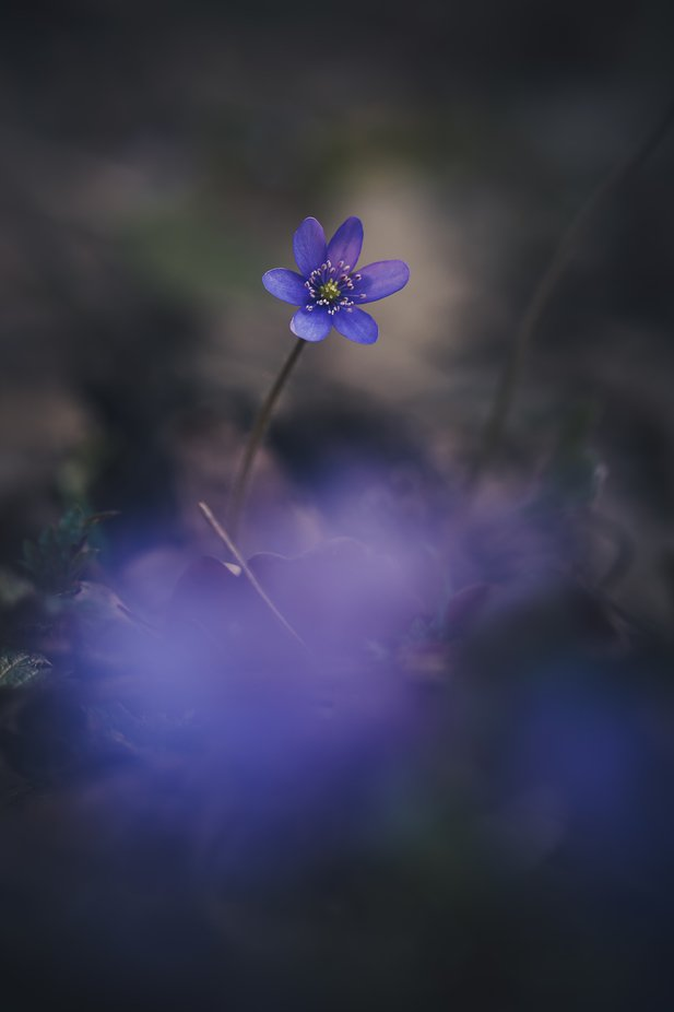 Hepatica nobilis. by Anna_Miziolek - Image Of The Month Photo Contest Vol 44