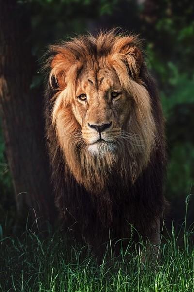 Southern lion