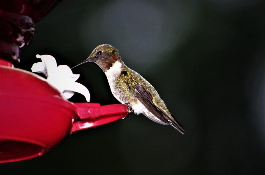 Closeup Hummingbird Feeding