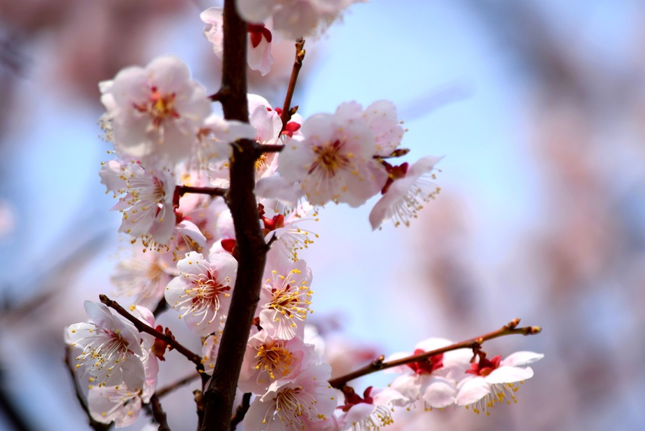 "Known as ""sakura"" in Japanese, these pale blooms are a symbol of more than just..."