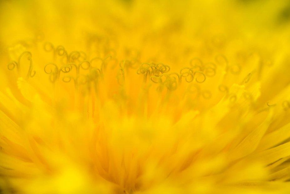 Somewhere in dandelion