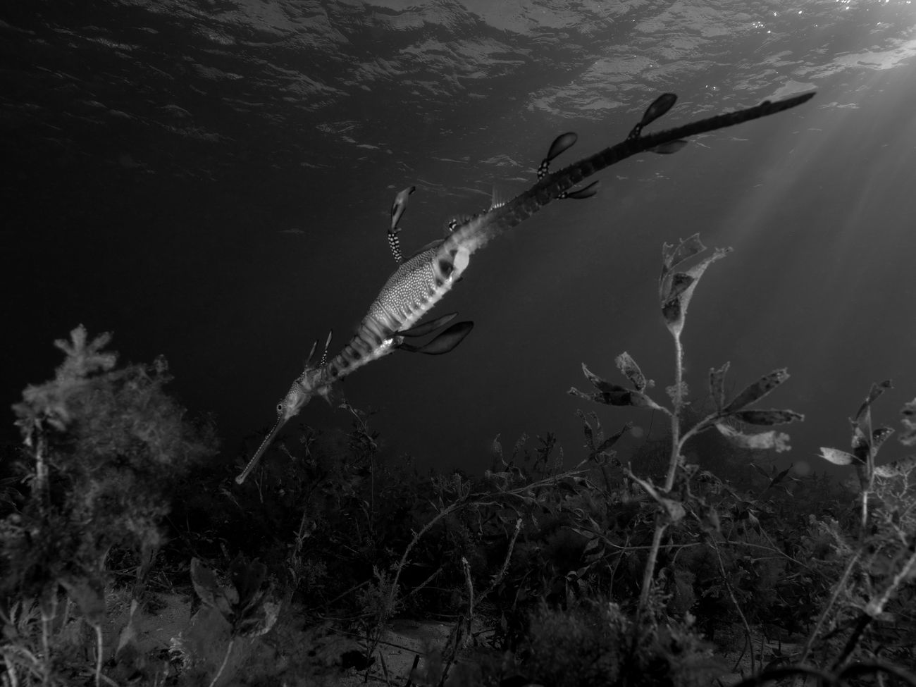 another weedy seadragon shot. playing around with different angles and effects. with the water being a bit milky this day it was good to pick up the light rays with the dragons