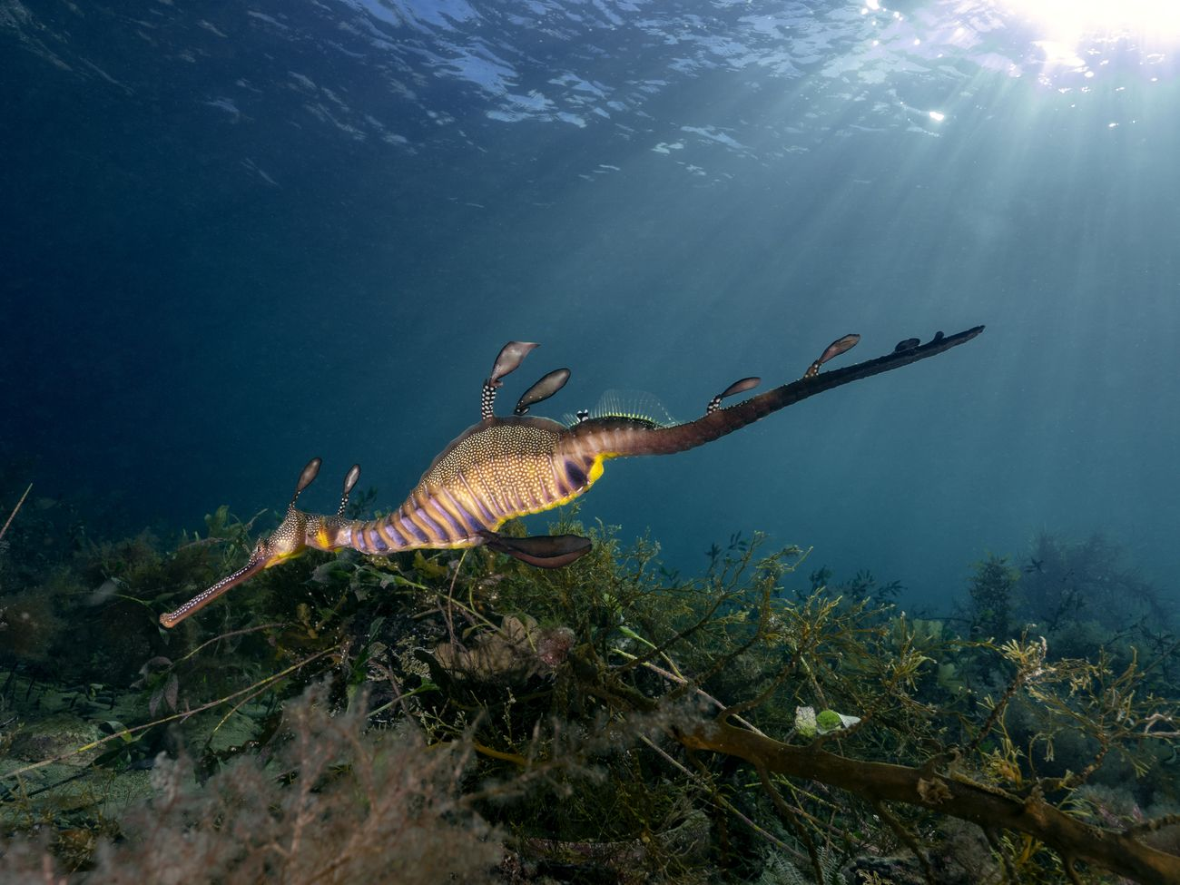 weedy sea dragon from Flinders Pier Victoria Australia. I wanted to play around with different ways to get light rays to work with the sea dragon. I feel this is the nicer angle