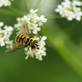 Took this shot of a hoverfly, Although they look a bit like a wasp, much safer to take the shot.
