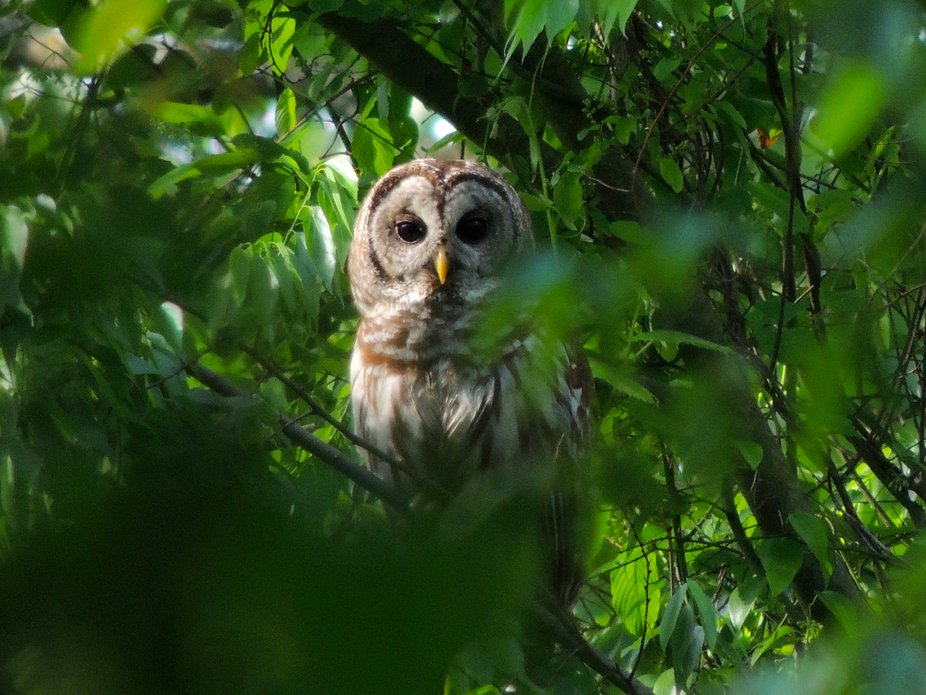 Owl almost hidden by the leaves