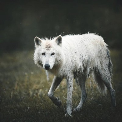 The majestic Arctic Wolf shedding it's winter coat in the rain . . . #visualfolk #natgeo #natgeowild #canon #tokina #teamtokina #Instagram #discoverearth #folkscenery #moodygrams #moodyports #neverstopexploring #earthpix #ourplanetdaily #vsco #bokeh