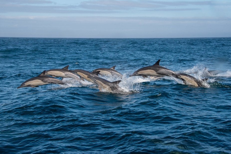 Pod of common dolphins
