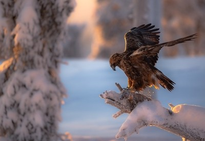 Golden eagle, golden hour