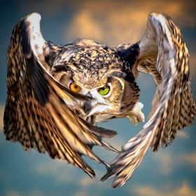 A Eurasian Eagle Owl in flight.  I have been asked about the different colored eyes.  This owl is owned by famous naturalist Steve Hoddy who ofte...