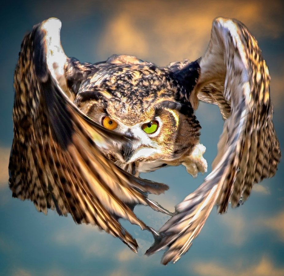 A Eurasian Eagle Owl in flight.  I have been asked about the different colored eyes.  This owl is...