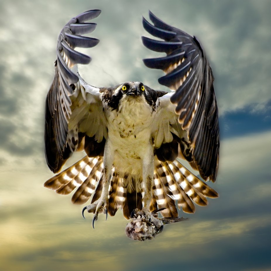 A osprey in flight with its wings in the angle wings position, making eye contact with me and clu...
