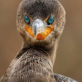 Close-up of a double-crested cormorant showing its mesmerizing eyes.