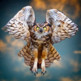 A Eurasian eagle owl in flight.  This photo was the official poster and brochure photo of Earth Day 2019, Selected as one of the top 12 photos of...