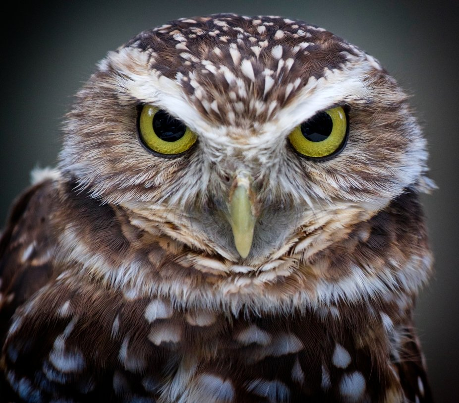 Close-up of a very serious looking burrowing owl