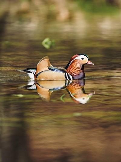 Mandarin duck at burnham beaches