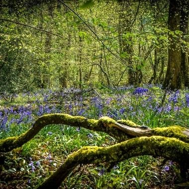 Bluebells wood.