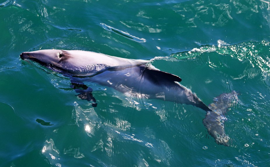 We spent a few hours searching the bay accessible from Akaroa for dolphins, penguins and other exotica. Worth the trip as the guide books say!