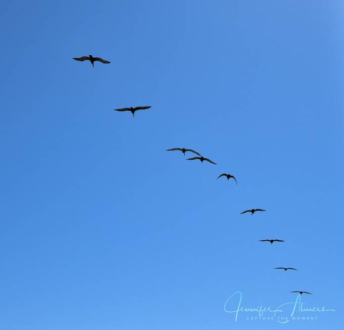 A Squadron of Pelicans in Silhouette