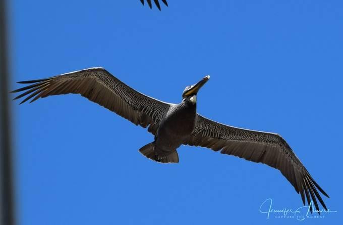 Pelican Upclose