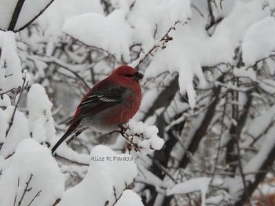 Grosbeak in the Snow