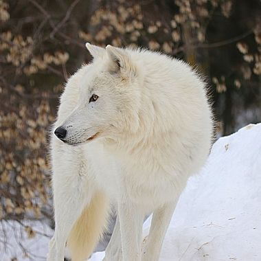 Axel; A male arctic subspecies of the gray wolf and member of the Ambassador Pack at the International Wolf Center in Ely, MN