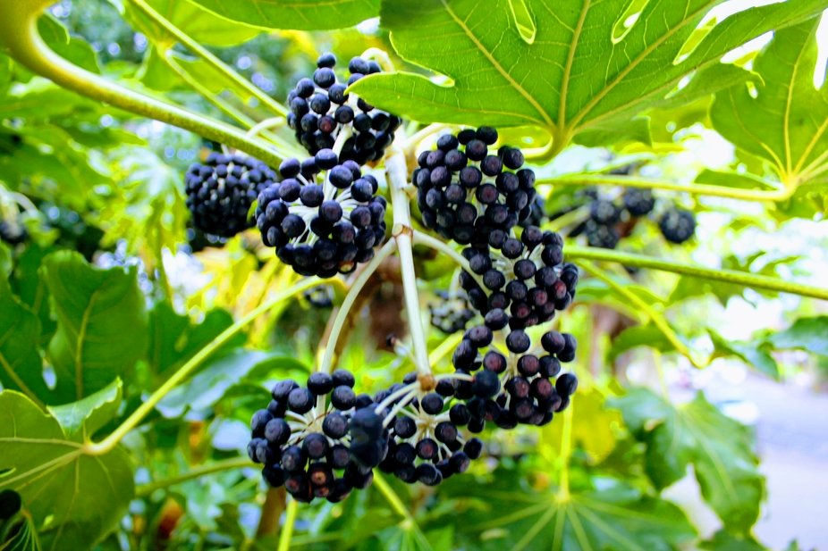They may be berries, but not for human consumption.  Very poisonous. Canon eos digital.