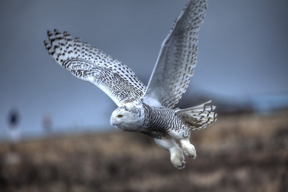 The Snowy owl makes it appearance roughly every 4 years in Boundary Bay near Vancouver as their f...