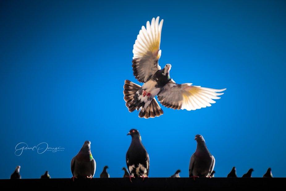 flying bird - Tirana, Albania