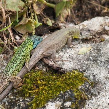 Lagarto Verdinegro (Lacerta Schereiberi), endemismo de las Montañas del Sistema Central (Spain) El macho de cabeza azul, la hembra preñada. Ahora es su tiempo de reproduccion.Se encuentran cerca de las masas de agua.