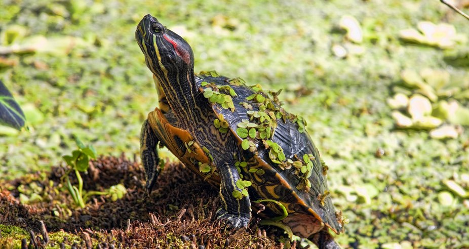 Turtle emerging from the Duckweed in San Francisco's Golden Gate Park