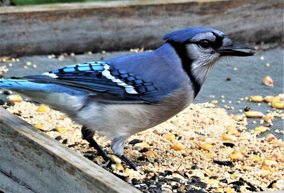 Blue Jay in the feeder
