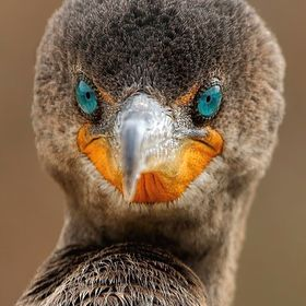 Extreme close-up of a double-crested cormorant.  Selected as an editor's favorite at National Geographic Magazine by two Nat Geo Editors.  P...