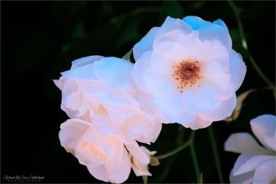 Beautiful White Carnations