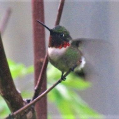 Hummingbird Flapping
