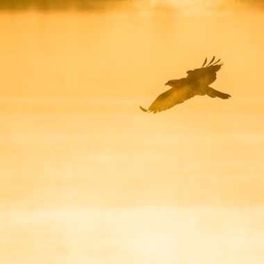 Osprey hunting in the first light of day and foggy conditions.  I really liked the silhouette it forms.