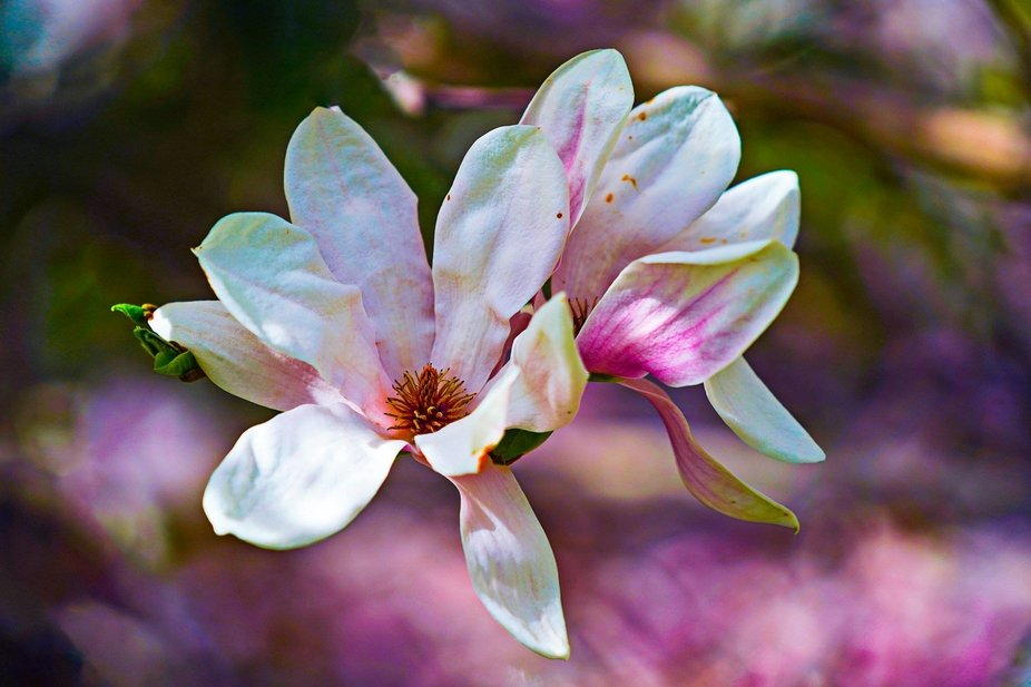 Spring Fever! I think Magnolias are one of the most beautiful trees in the world. We are blessed to have so many of them in this town!