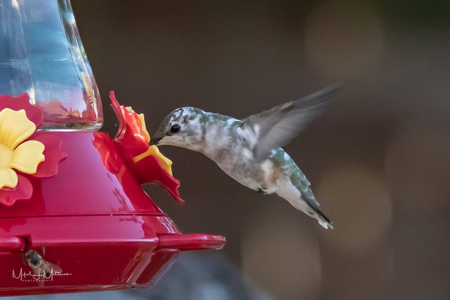 A leucistic hummingbird. Ive been told they are a rare bird.