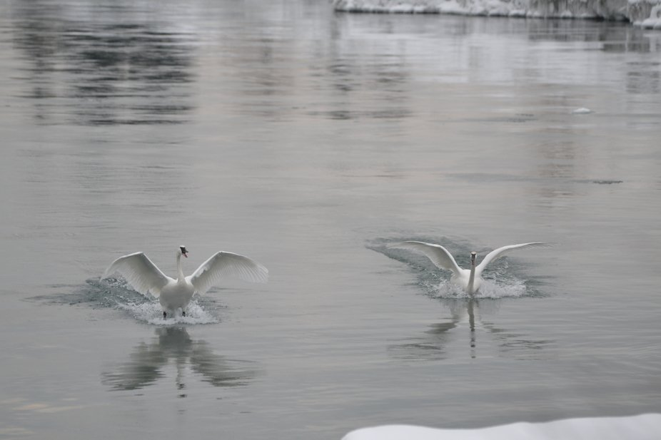 This pair of swans are arriving at Bluffer's Park in Scarborough, Ont