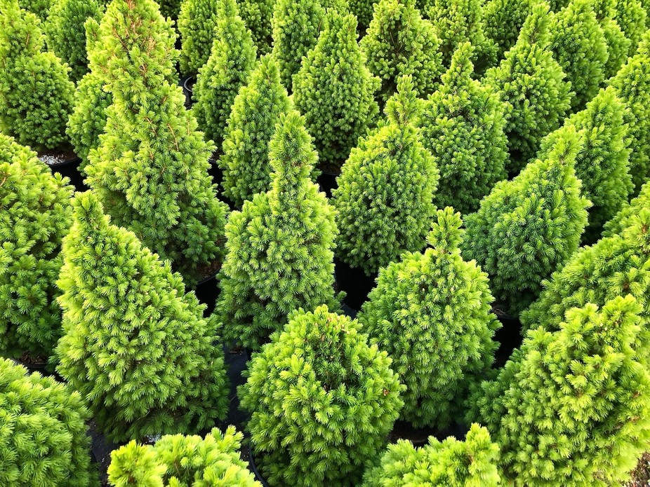 Lot's of trees in a Nursery waiting to grow up.