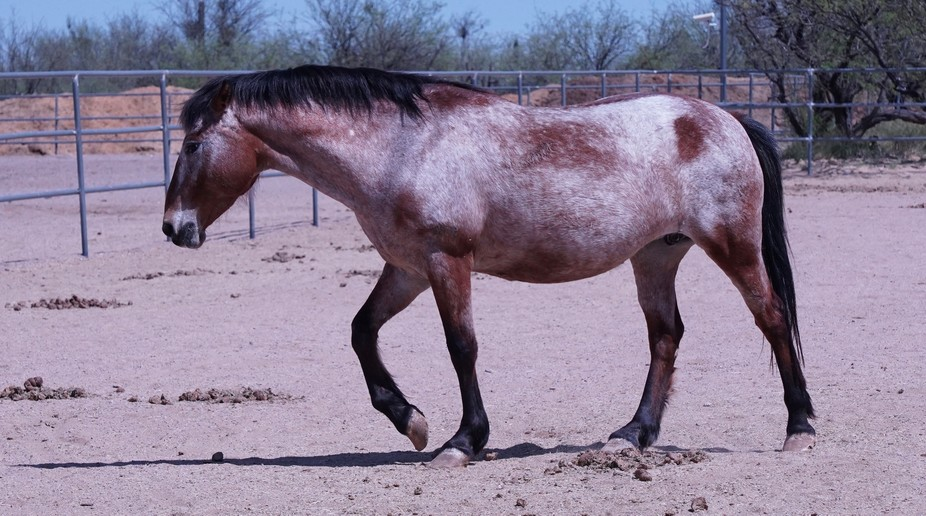 This beautiful horse was rescued by Equine Voices Horse Sanctuary during a round up by the Depart...