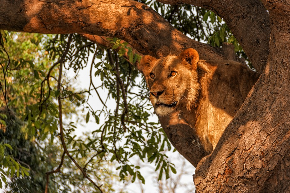 The lion was watching some action at a local water hole where the pride had surrounded a water Bu...