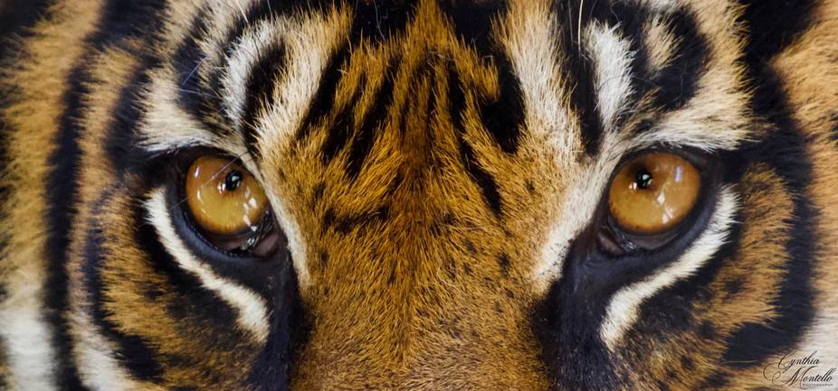 Stunning tiger eyes.