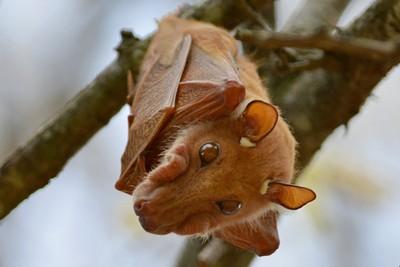 DSC_6225 Fruit  Bat 3v2 Kruger Park SA 2015_crrsh