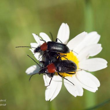 Gorgojos comiendo los petalos de una flor de margarita. Sierra de Francia-Salamanca (Spain)