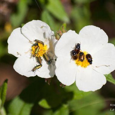 Diferentes tipos de insectos (Gorgojos) se alimentan de la misma flor de la Jara pringosa.