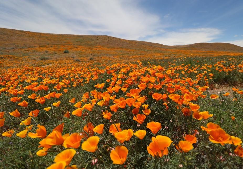 Lancaster, California Poppy Reserve.