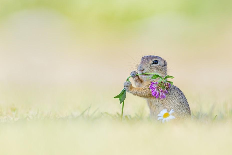 A rare wild European ground squirrel having clover for breakfast.