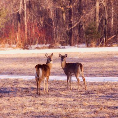 Spring Deer II